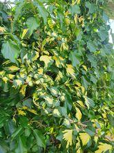 klimop - Hedera colchica 'Sulphur Heart'