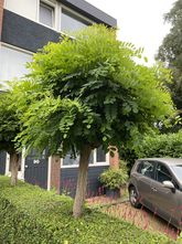Bolacacia - Robinia pseudoacacia 'Umbraculifera' Acacia op stam