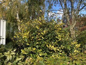 Stekelige olijfwilg - Elaeagnus pungens