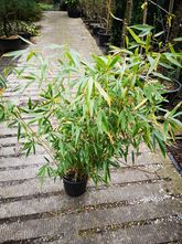 Bamboe - Fargesia 'Ping Wu'