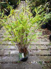 Bamboe - Fargesia nitida 'Gansu'