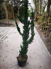 Californische cipres - chamaecyparis wissel's saguaro