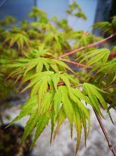 Japanse Esdoorn - Acer japonicum 'Aconitifolium'