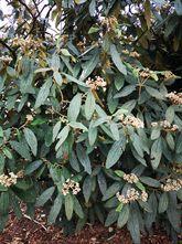 Sneeuwbal - Viburnum Rhytidophyllum