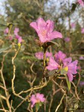 Rododendron - Rhododendron ponticum 'Roseum'