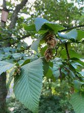 Hopbeuk - Ostrya carpinifolia