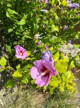 Heemstroos - Hibiscus syriacus 'Woodbridge'