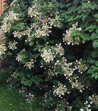 Klimhortensia - Hydrangea anomala subsp. petiolaris