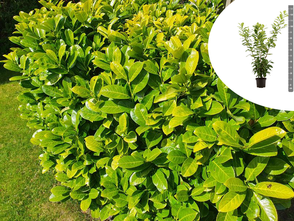 Laurierkers - Prunus laurocerasus 'Novita'