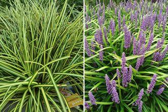 Borderplan Marieke - Siergras borderpakket - Schaduwplanten - Laagblijvende siergrassen