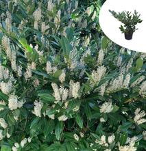 Laurierkers - Prunus laurocerasus 'Otto Luyken'