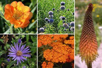 Borderplan Evy - Vaste planten borderpakket - Oranje, Rood & Blauw - Droge grond - Zon