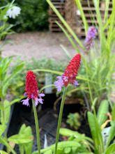 Orchideeprimula - Primula vialii
