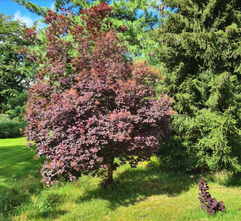 Rode Pruikenboom - Cotinus coggygria 'Royal Purple'