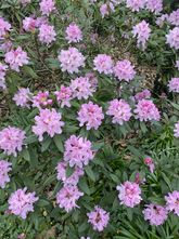 Rododendron - Rhododendron 'Christmas Cheer'