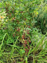 Japanse wijnbes - Rubus phoenicoelasius