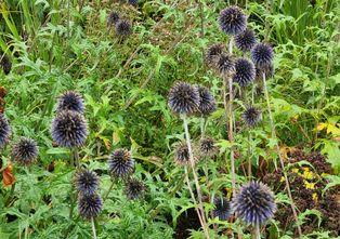 Kogeldistel - Echinops Ritro