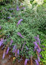 Vlinderstruik - Buddleja davidii 'Purple Emperor'