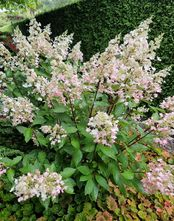Pluimhortensia - Hydrangea paniculata 'Grandiflora'