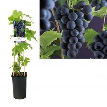Blauwe druif - Vitis 'Boskoopse glorie'