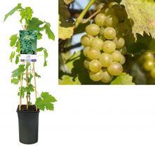Witte druif - Vitis 'Riesling'