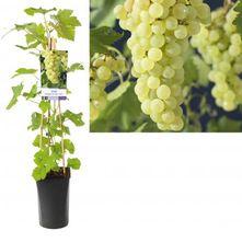Witte druif - Vitis 'Vroege van der laan'