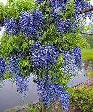 Blauweregen - Wisteria floribunda 'Blue Moon'