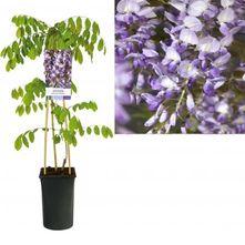Blauweregen - Wisteria sinensis 'Prolific'