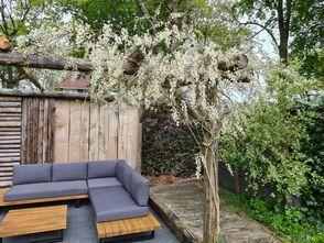 Witte blauweregen - Wisteria sinensis 'alba'