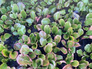 Schoenlappersplant - Bergenia Crassifolia