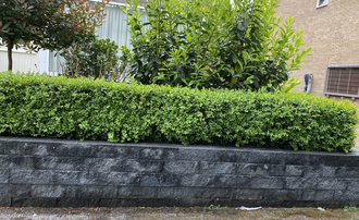 Buxus sempervirens - Buxushaag Palmboompje