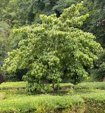 Japanse grootbloemige Kornoelje - Cornus kousa