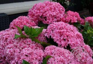 Hortensia - Hydrangea macrophylla 'Expression'