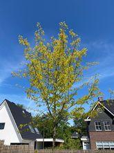Gele valse Christusdoorn - Gleditsia triacanthos 'Sunburst'