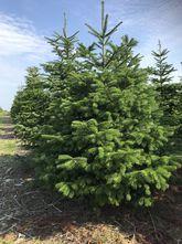 Echte kerstboom - Nordmann - Kaukasische zilverspar - Abies nordmanniana