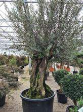 Borderplan Olea - Olijfbomen in verschillende maten - Mediterrane tuinplant