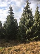 Echte kerstboom - Servische Spar - Picea Omorika