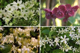 Borderplan Eelco - Borderpakket pergola - Groenblijvende klimplanten (A) - set van 4