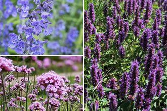 Borderplan Suus - Vaste planten borderpakket - Paars - Prairieborder - Prairietuin