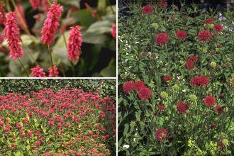 Borderplan Dina - Vaste planten borderpakket - Rood - Prairietuin- Prairieborder - Zon