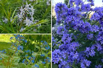 Borderplan Herman - Vaste planten borderpakket Blauw - Halfschaduw - vochtige grond