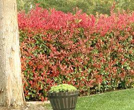 Glansmispel - Photinia 'Red Robin'