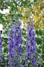 Ridderspoor - Delphinium 'Bellamosum'