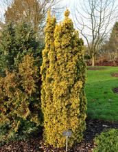 Venijnboom - Taxus baccata 'Standishii'