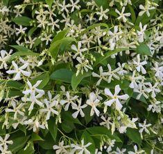 Toscaanse Jasmijn - Trachelospermum jasminoides