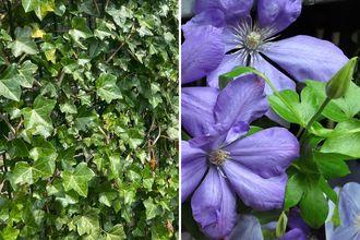 Borderplan Pepijn - Borderpakket klimplanten - schutting trellis - Klimop & clematis - blauwe bloemen