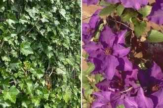 Borderplan Koen - Borderpakket klimplanten - schutting trellis - Klimop & clematis - paarse bloemen