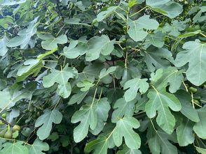 Vijgenstruik - Ficus carica