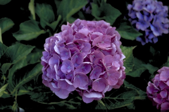 https://cdn.zilvercms.nl/http://yarinde.zilvercdn.nl/Hortensia - Hydrangea macrophylla 'Renate'