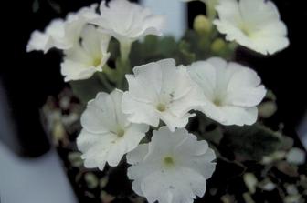 https://cdn.zilvercms.nl/http://yarinde.zilvercdn.nl/Sleutelbloem - Primula allionii 'Tony'